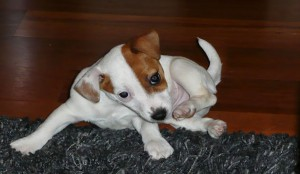 adopter jack russel
