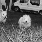chiens westies