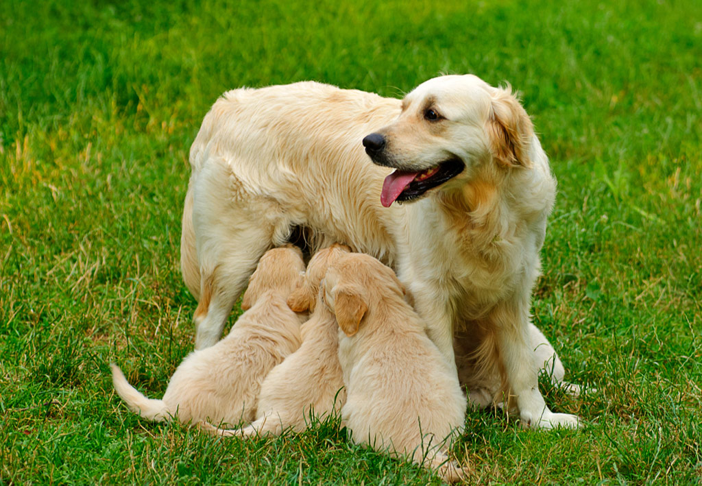 vente golden retriever