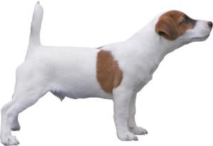 chien Jack russel terrier