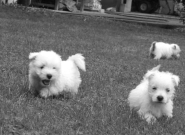 Westies for ever : trois femelles ♥