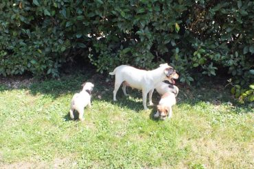 Gessy et ses chiots Parsons Russell