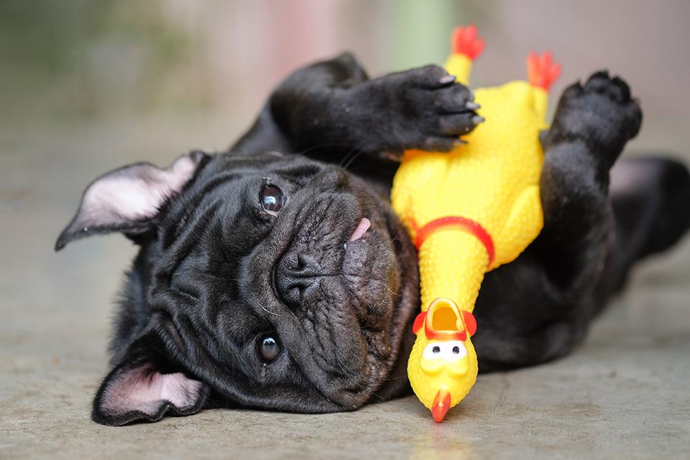 comment faire cohabiter poule et chien