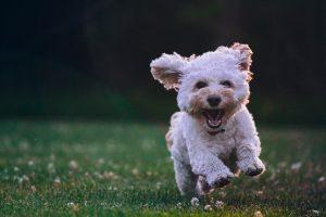 chien qui court