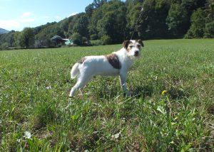 reproducteur parson russel elevage chien 64